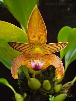Orquídea Bulbophyllum claptonense