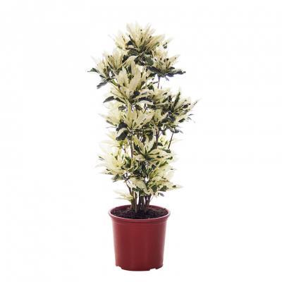 Codiaeum variegatum tamara