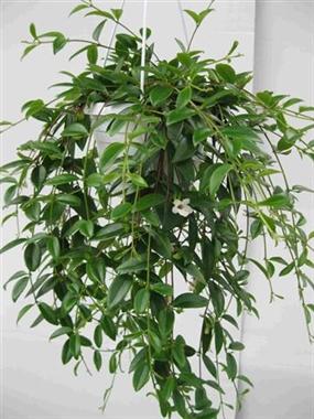 Codonanthe crassifolia a vendre