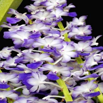 Orchidee Rhynchostylis coelestis blue