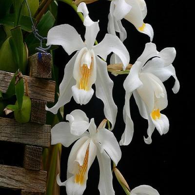 Orchid Coelogyne cristata