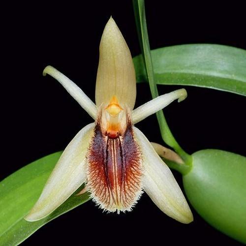Orchidea Coelogyne fimbriata