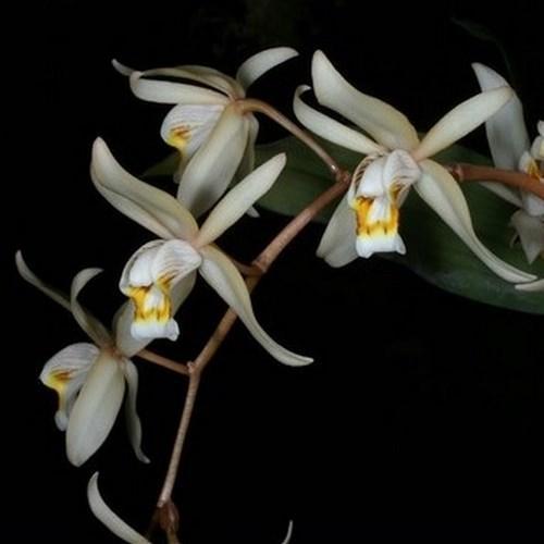 Orchidee Coelogyne flaccida