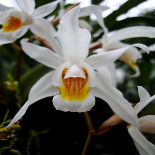 Coelogyne lactea orchidee vente achat
