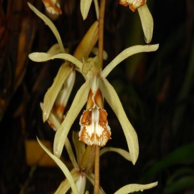Orchidea Coelogyne pulverula