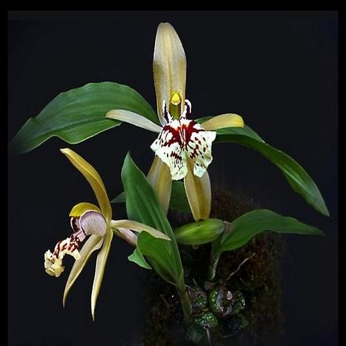 Orchidée Coelogyne schilleriana