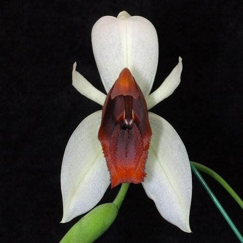 Orchidee Coelogyne usitana