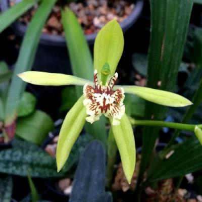 Orchidea Coelogyne verrucosa