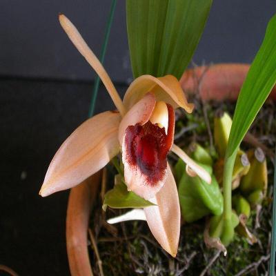 Orchidée Coelogyne xyrekes