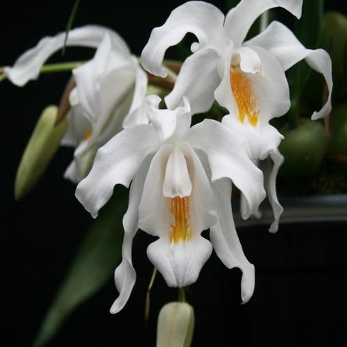 Orchid Coelogyne cristata