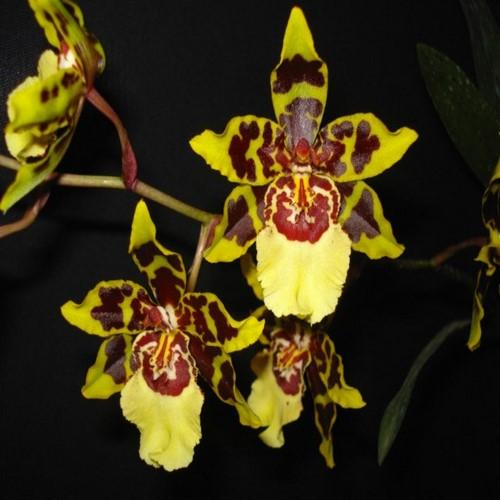 Orchidea Colmanara Wildcat Camera