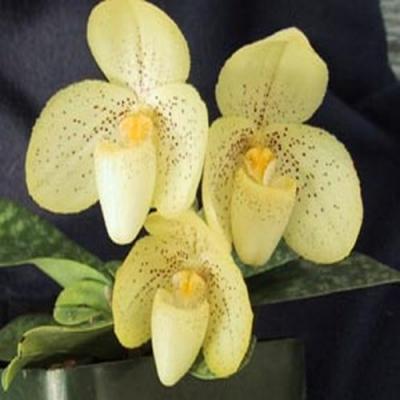 Orchidée Paphiopedilum concolor