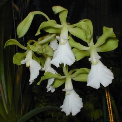 Orquídea Encyclia cordigera var. alba