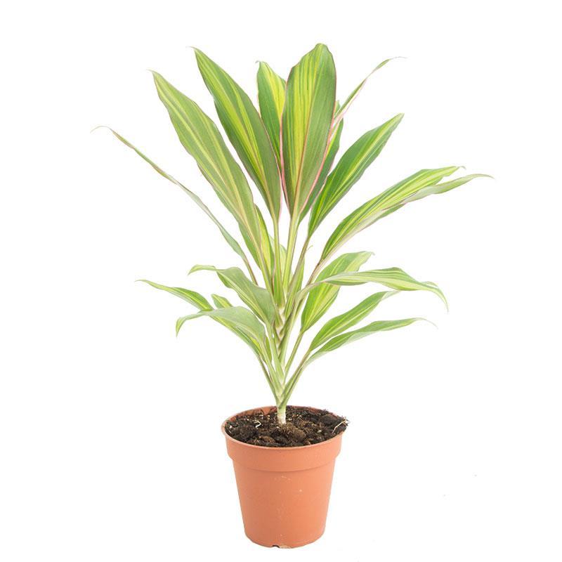 Cordyline fruticosa kiwi a vendre