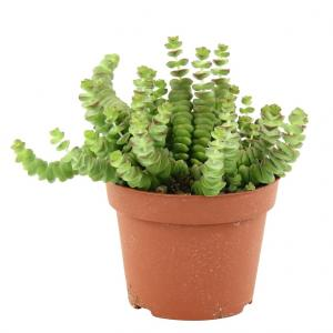Crassula rupestris 1