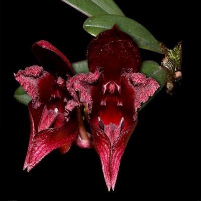 Orchidée Bulbophyllum cruentum