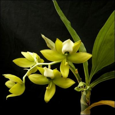 Orchid Cycnodes warscewiczii