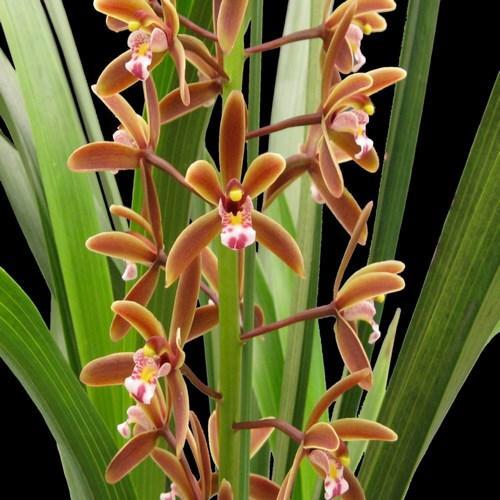 Orchidee Cymbidium floribundum