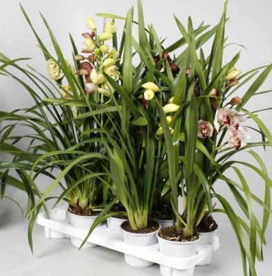 Orchidea Cymbidium hybride Mix