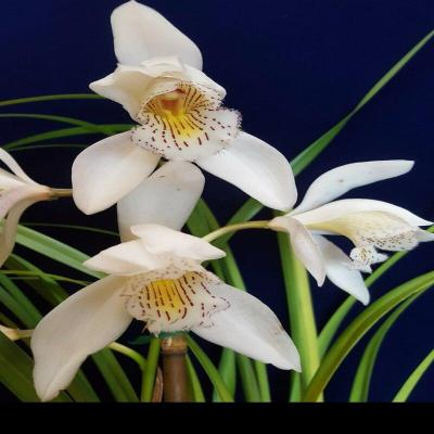 Orquídea Cymbidium wenshanense