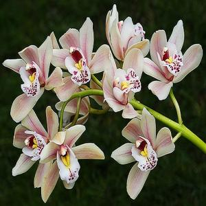 Cymbidium spray