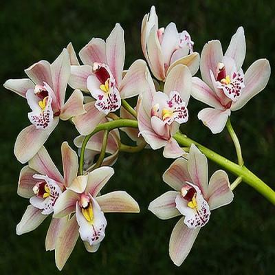 Orhidee Cymbidium hybride Pink XXL