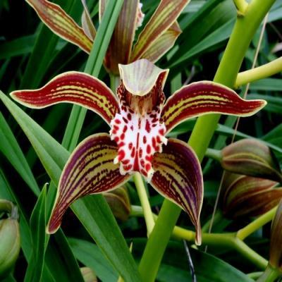 Cymbidium tracyanum orchidee achat vente fleurie fleuriste