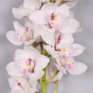 Cymbidium white 800x