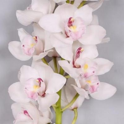 Orhidee Cymbidium hybride white