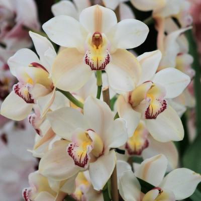 Orquídea Cymbidium hybride white