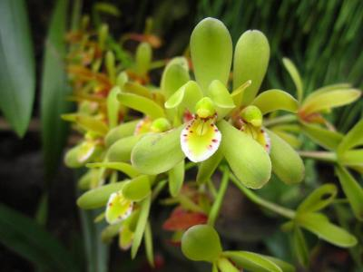 Orchidea Cymbidium chloranthum