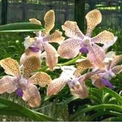 Orhidee Vanda Fuchs Fortune x V tessellata