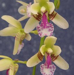 Orchidée Sedirea japonica daruma