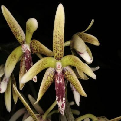 Orchidea Dendrobium munificum