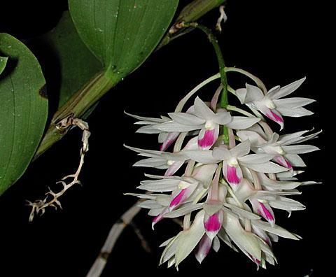 Denamethystoglossum