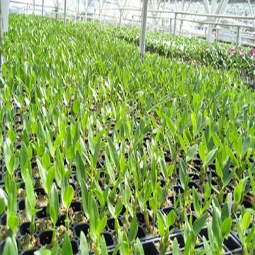 15 Dendrobium