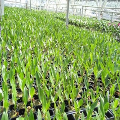 8 Dendrobium