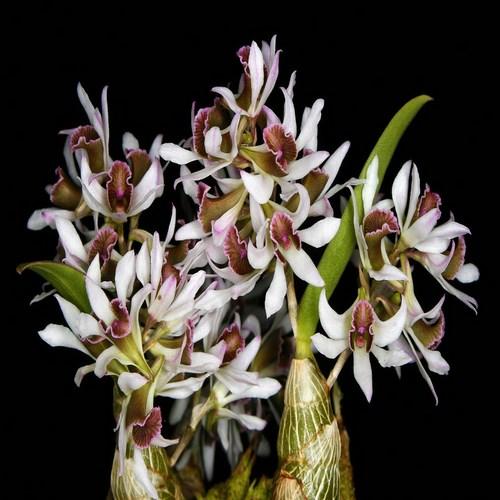 Dendrobium a vendre pengunum