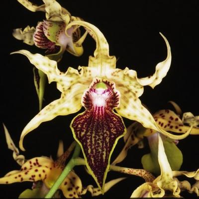 Orquídea Dendrobium alexandrae
