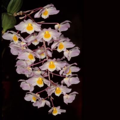Orchidée Dendrobium amabile