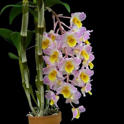 Dendrobium amabile orchidee fleurie vente achat plante rare