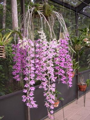Orchidee Dendrobium anosmum