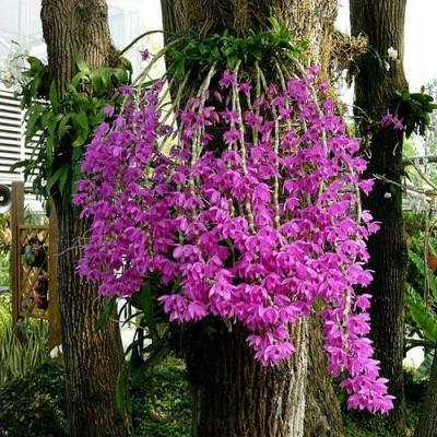 Orquídea Dendrobium anosmum