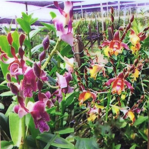 Dendrobium antelope