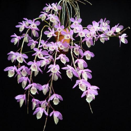 Orquídea Dendrobium aphyllum
