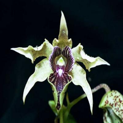 Orchidee Dendrobium atroviolaceum