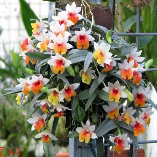 Dendrobium bellatulum orchidee fleurie vente entretient