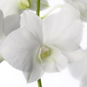 Dendrobium blanc fleuri vente achat orchidee