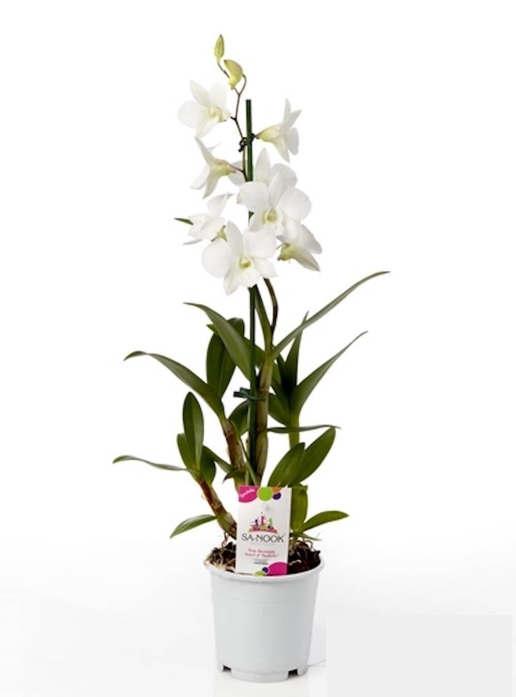 Dendrobium blanc orchidee blanche fleurie vente livraison 1
