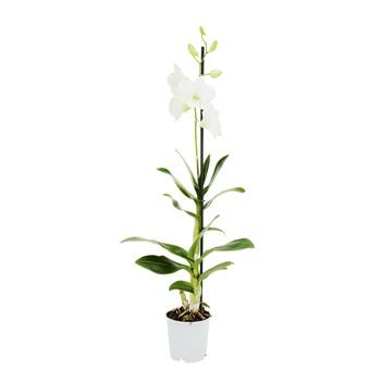 Dendrobium blanc orchidee blanche fleurie vente livraison